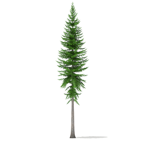 Norway Spruce (Picea abies) 14m - 3DOcean Item for Sale