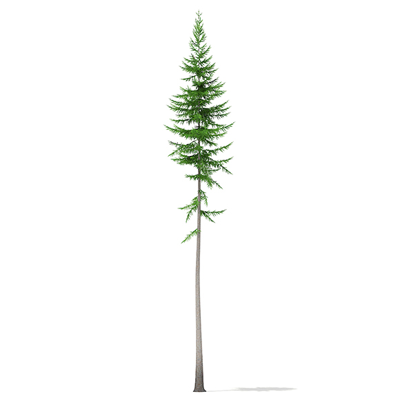 Norway Spruce (Picea abies) 15.8m - 3DOcean Item for Sale
