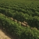 Aerial Flight Over Vineyard Rows - VideoHive Item for Sale