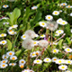 Daises In Field With Wild Flowers And Dandelions Blowball - VideoHive Item for Sale