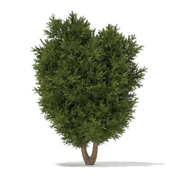 European Yew (Taxus baccata) 3.7m - 3DOcean Item for Sale