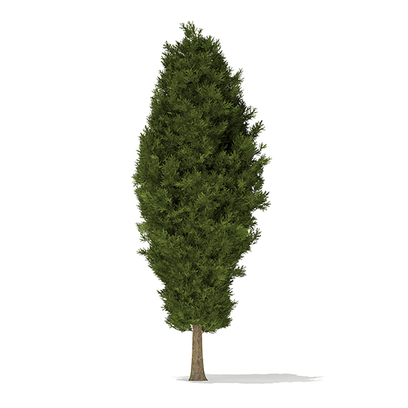 European Yew (Taxus baccata) 10.7m - 3DOcean Item for Sale