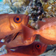 Colorful Underwater Tropical Bigeye Fish - VideoHive Item for Sale