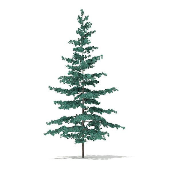 Blue Atlas Cedar (Cedrus atlantica) 1.6m - 3DOcean Item for Sale