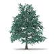 Blue Atlas Cedar (Cedrus atlantica) 9.6m