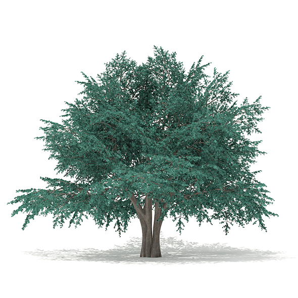 Blue Atlas Cedar (Cedrus atlantica) 13.2m - 3DOcean Item for Sale