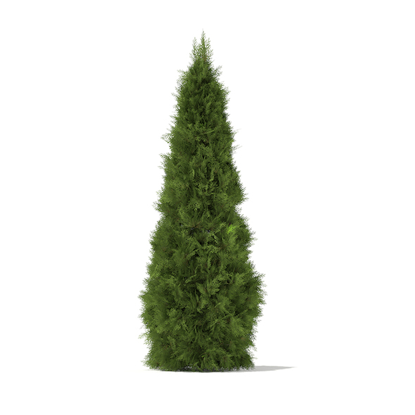 White Cedar (Thuja occidentalis) 2.3m - 3DOcean Item for Sale