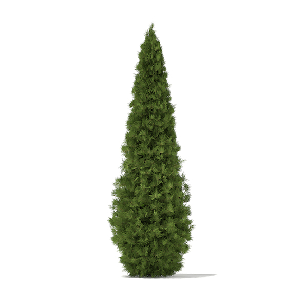 White Cedar (Thuja occidentalis) 4.6m - 3DOcean Item for Sale