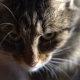 Portrait of a Domestic Cat - VideoHive Item for Sale