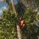 Balinese Man Climbing On Top Of Palm Tree - VideoHive Item for Sale