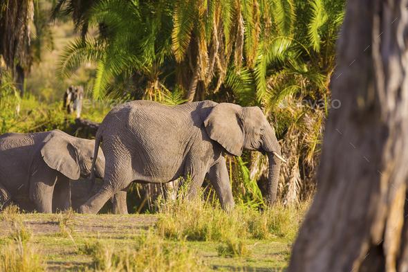 Group of large elephants walking in Serengeti - Stock Photo - Images