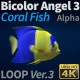 Fish Bicolor Angelfish 3 - VideoHive Item for Sale