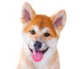 Akita Inu purebred puppy dog isolated on white background. Shiba