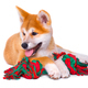 Akita Inu purebred puppy dog isolated on white background. Shiba - PhotoDune Item for Sale