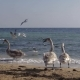 Swans On The Coast - VideoHive Item for Sale