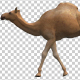 Camel Moving - VideoHive Item for Sale