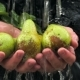 Water Flows On Fresh Pears With Leaves In Hands Of Man - VideoHive Item for Sale