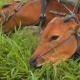 Two Banteng Cows In Plow Eating Grass - VideoHive Item for Sale