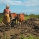 Balinese Man Plowing Rice Field With Two Banteng Cows - VideoHive Item for Sale