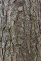 The bark of pine tree, background. - PhotoDune Item for Sale