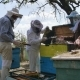 Three Beekeeper Standing Near a Beehive Prepare The Cell For Pumping Honey - VideoHive Item for Sale
