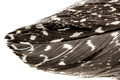 Feather of guinea fowl close-up, isolated on white background