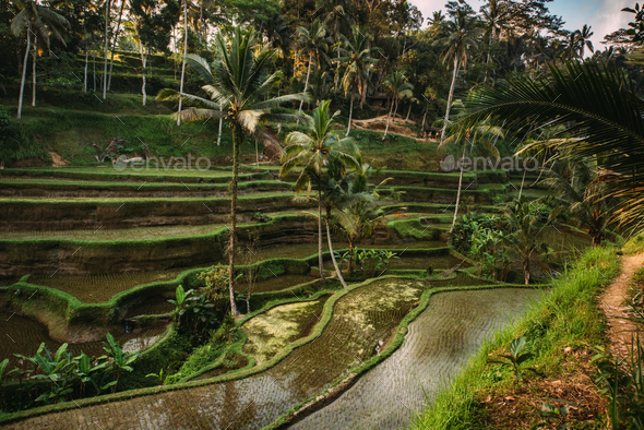 Rice cultivation in Bali, Indonesia. Rice terraces with sky reflecting during golden hour at evening - Stock Photo - Images