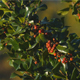Mistletoe Tree - VideoHive Item for Sale