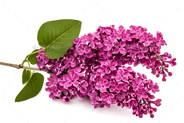 Twig purple lilac, Syringa vulgaris, isolated on white backgroun - Stock Photo - Images