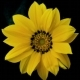 Yellow Flower Blooms - VideoHive Item for Sale
