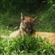 Puma Sleeping In The Green Grass - VideoHive Item for Sale