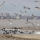 The Swans, Gulls And Ducks In Winter - VideoHive Item for Sale