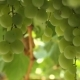 Bunch Of White Grapes - VideoHive Item for Sale
