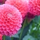 Pink Dahlia - VideoHive Item for Sale