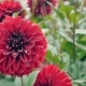 Red Dahlia In The Garden. - VideoHive Item for Sale