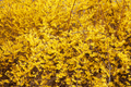 Forsythia, yellow spring flowers texture background