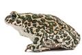 Toad green, lat. Bufo viridis, isolated on white background