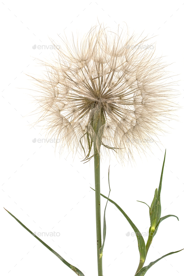 Tragopogon pratensiss close-up, isolated on white background - Stock Photo - Images