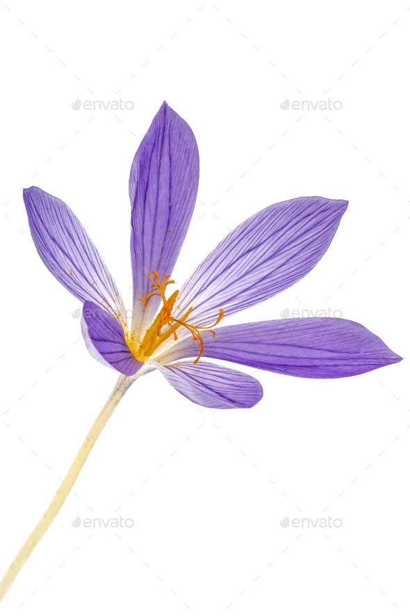 Violet flower of Colchicum close-up, isolated on white backgroun - Stock Photo - Images