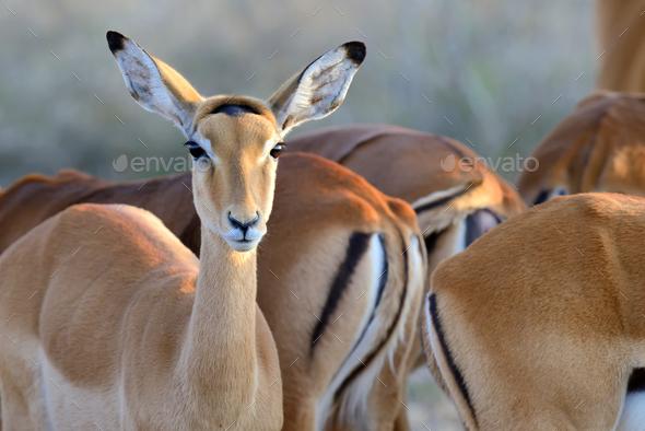 Thomson's gazelle on savanna in Africa - Stock Photo - Images