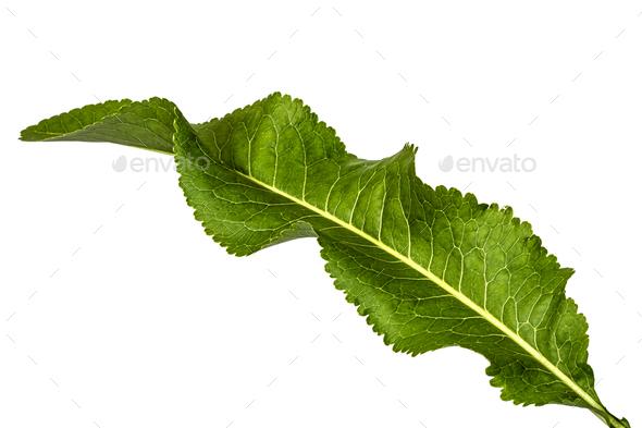 Fresh horseradish leaf (Armoracia P. Gaertn), isolated on white - Stock Photo - Images