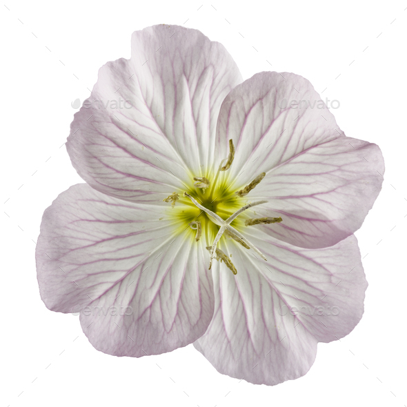 Flower of pink Evening Primrose (Oenothera), isolated on white b - Stock Photo - Images