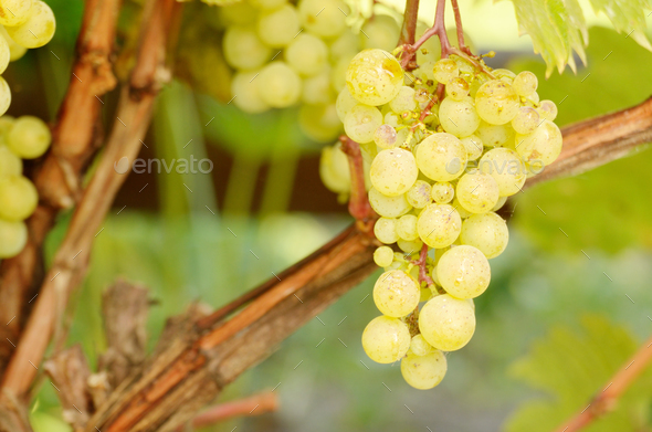 Green grapes on vine - Stock Photo - Images