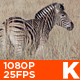 Zebra 03 - VideoHive Item for Sale