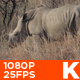 African White Rhino 07 - VideoHive Item for Sale