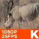 African White Rhino 06 - VideoHive Item for Sale
