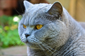 British Shorthair cat