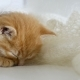Redhead Little Kitten Asleep Wrapped In a Knitted Shawl Downy Cat Video - VideoHive Item for Sale