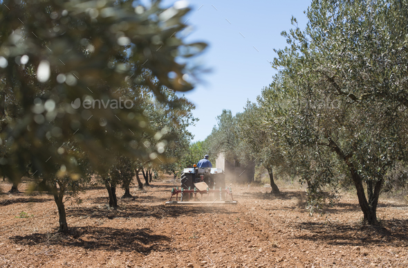 Tractor and olive trees - Stock Photo - Images