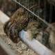 Feeding Quail On The Farm - VideoHive Item for Sale
